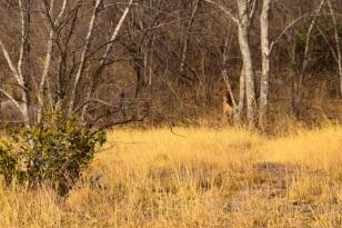 Tre lejon satt och tittade på oss en lång stund