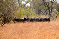 bufflar