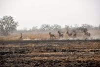 stora-antiloper