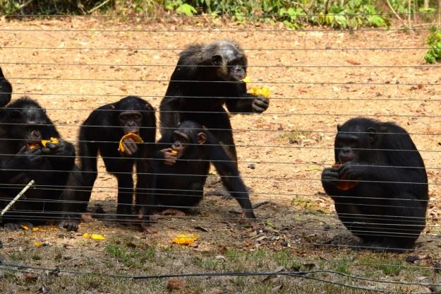 schimpanser Afi M