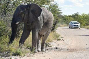 elefant blir rädd för bil