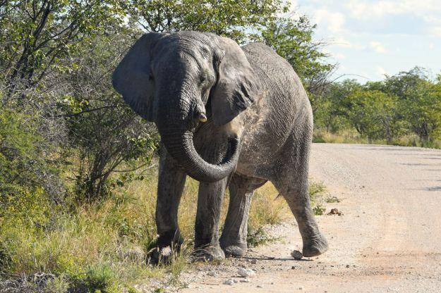 elefanten tvättar sig