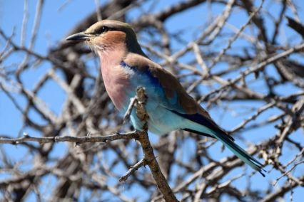 Fågel Etosha