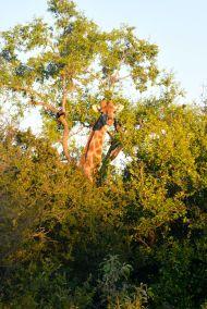 giraff tittar ut