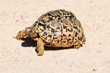 leopardsköldpadda