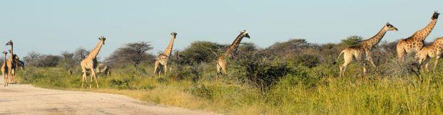 Många giraffer