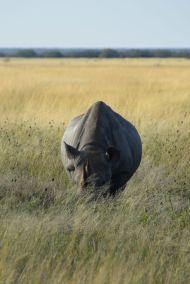 noshörning framifrån