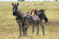 Zebramamma med unge