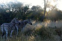 Zebror i morgonsolen
