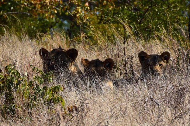 3 lejon i gräset
