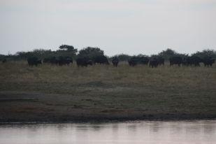 bufflarna börjar komma