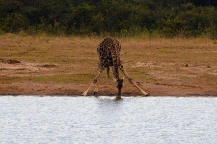 giraff dricker