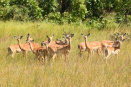 Kafua antiloper