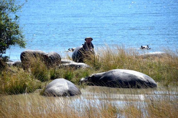Kafua -flodhästar