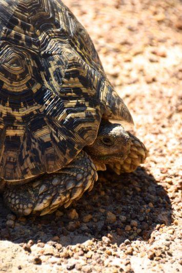 Kafua -sköldpadda