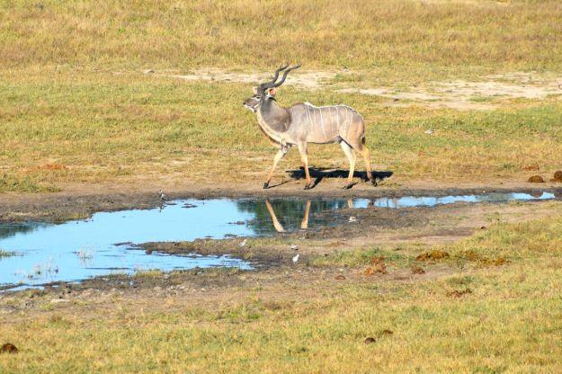 Kudu i morgonljus