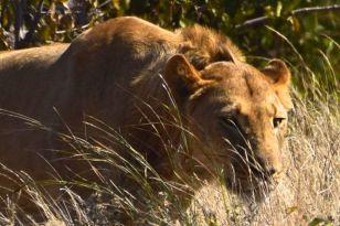 lejonhane i närbild