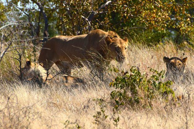 Lejonhanen reser sig