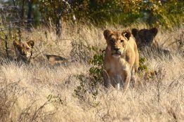 lejonhona närmar sig