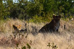 Lejonhonor tittar