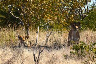 lejonhonorna kollar in oss
