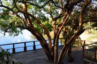 Träd på terassen