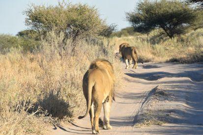 2 Lejonhanar på vägen