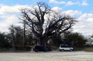 Baobao träd