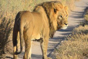 Lejon kollar in oss