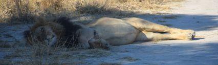 Lejon med Gemsbock i magen