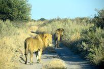 lejonhanarna kollar in oss