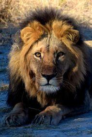 lejonhanne nr 4 i närbild