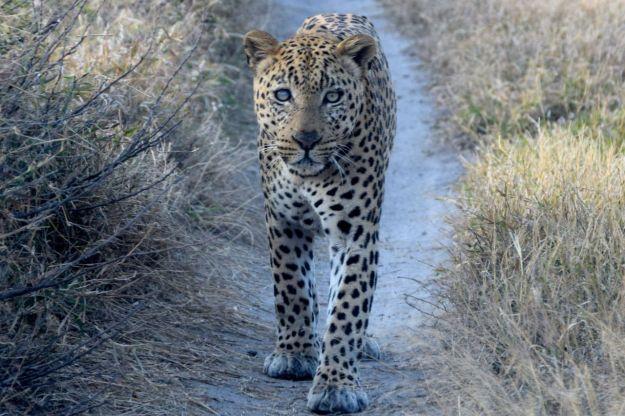 Leopard på vägen framför oss
