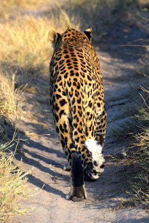 Leoparden bakifrån