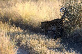 Leoparden märker ut sitt revir