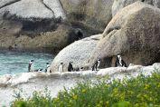 pingviner på klipporna
